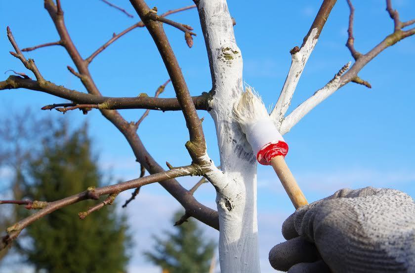 315 Как зимой защитить деревья от обморожения